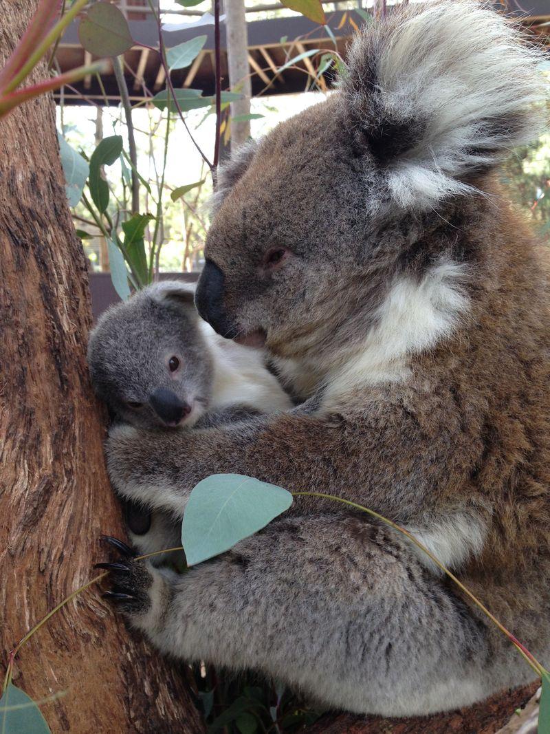 Koala joey_3