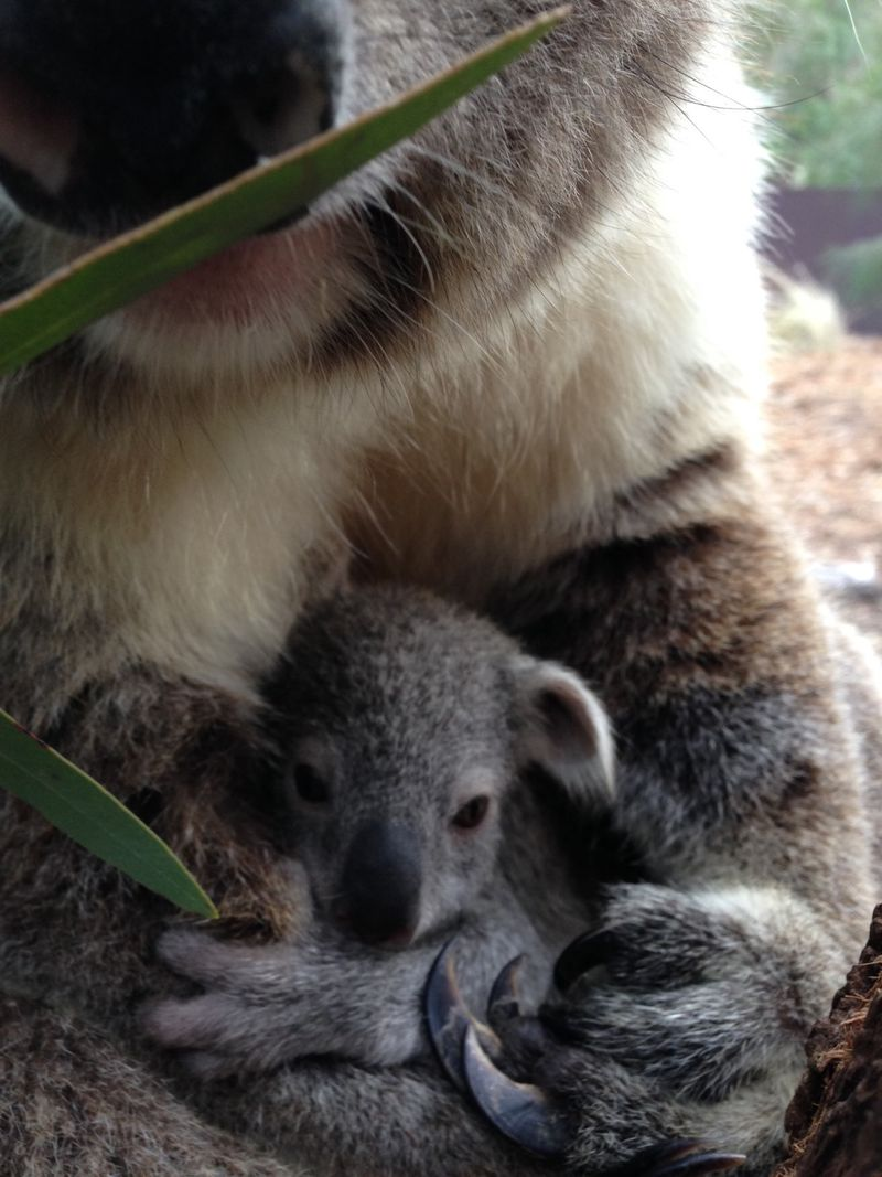 Koala joey_5