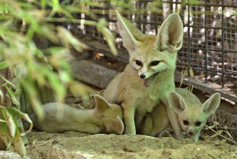 Fennec fox_tel aviv_3