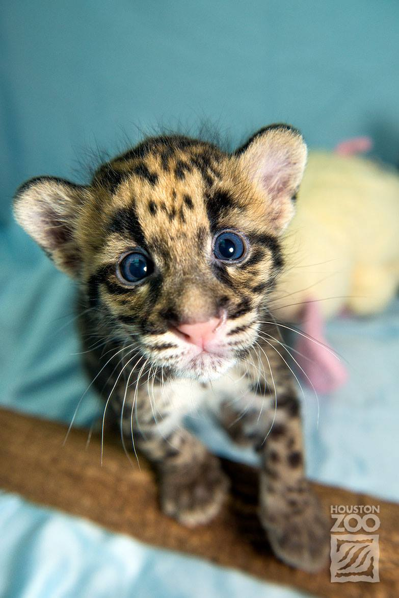 Clouded Leopard Cats For Sale