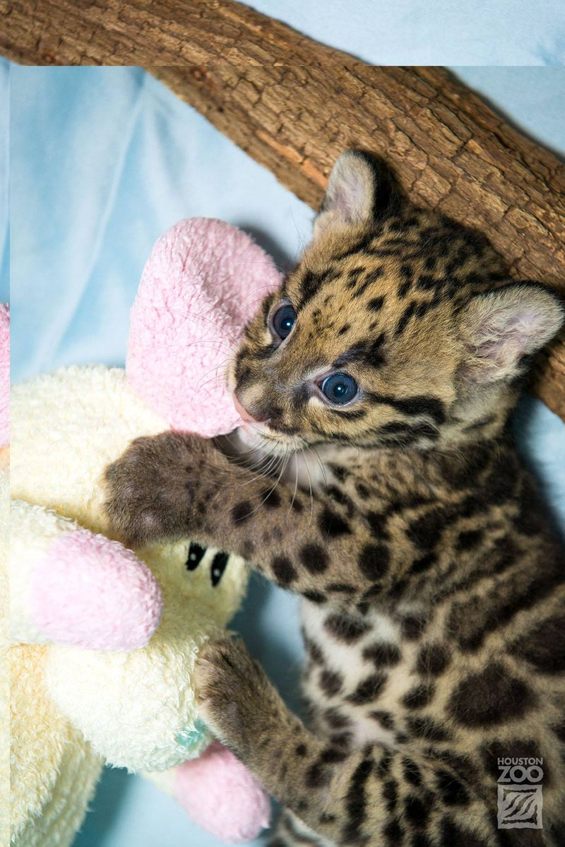 Clouded leopard_4