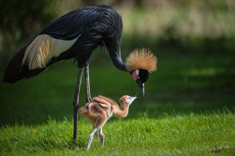 African cranes_1