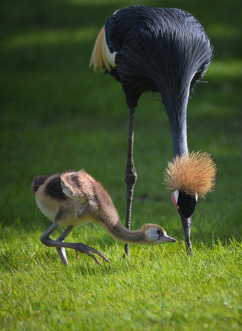 African cranes_2