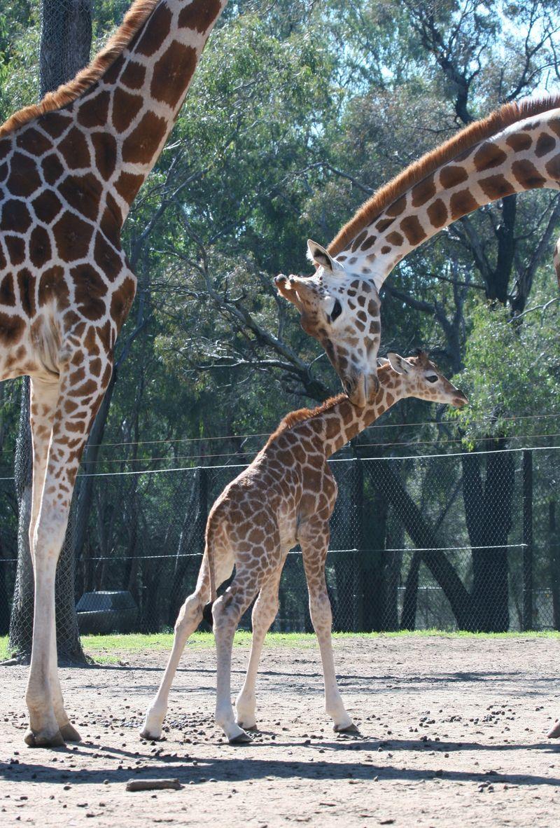 Giraffe calf-LS-06-08-2014 (35)_crop