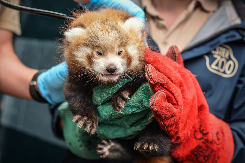 Red panda cubs_Chester Zoo_2
