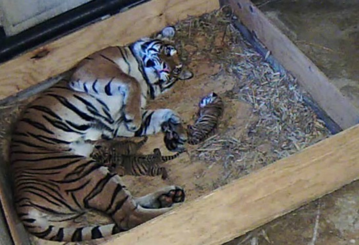 Malayan tiger cubs_Tulsa_4