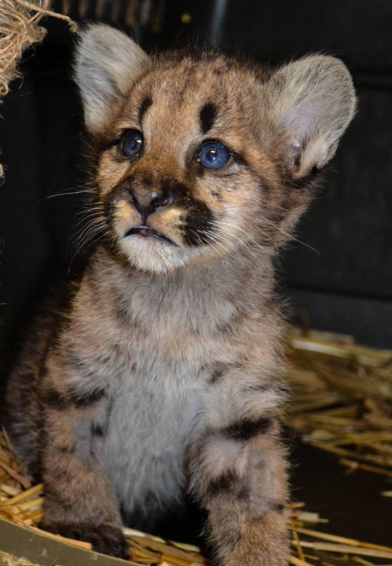 Cougar cub_ZooAmerica_8