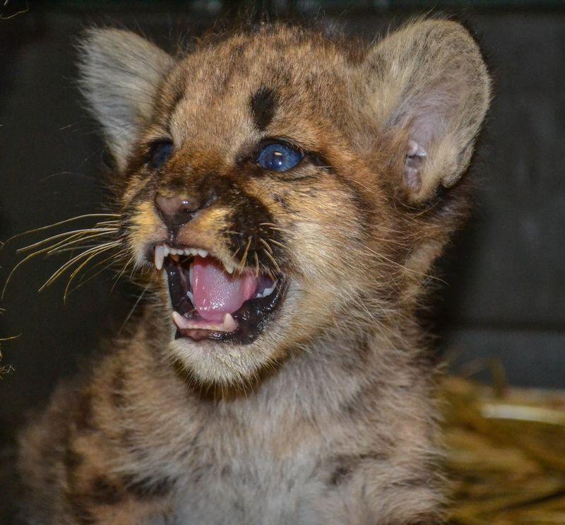 Cougar cub_ZooAmerica_7