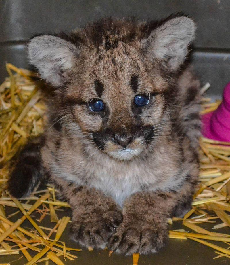 Cougar cub_ZooAmerica_6