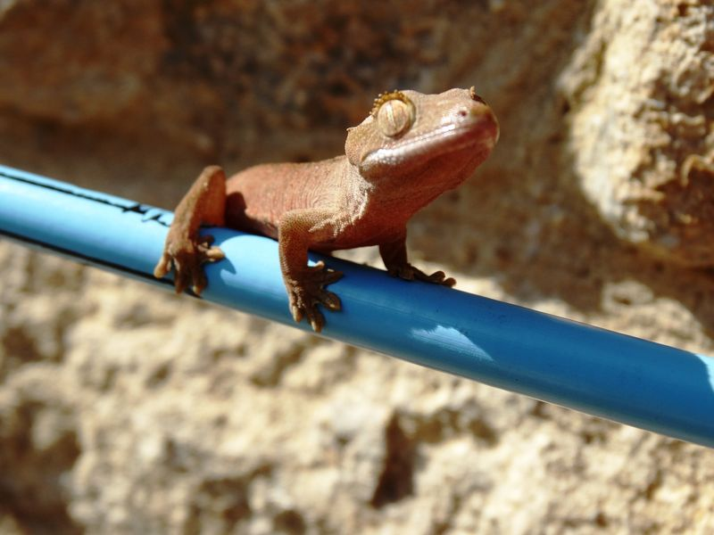 Cotswold_Gecko1
