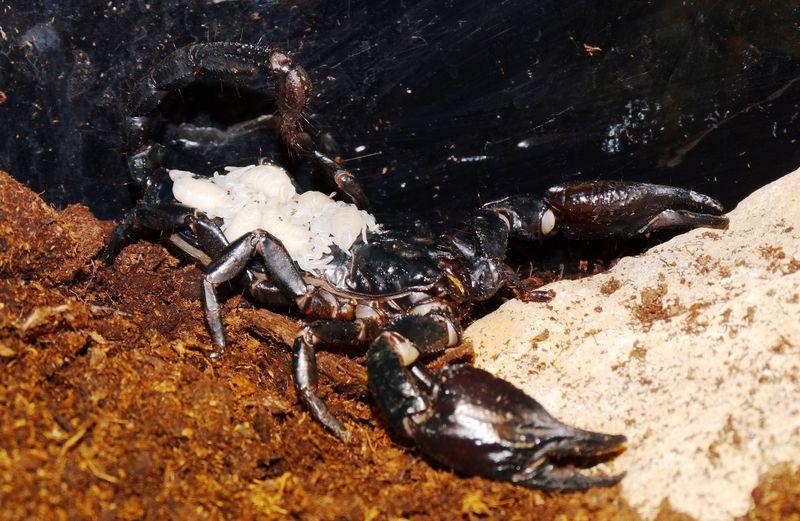 Scorpion 5 DR CWP