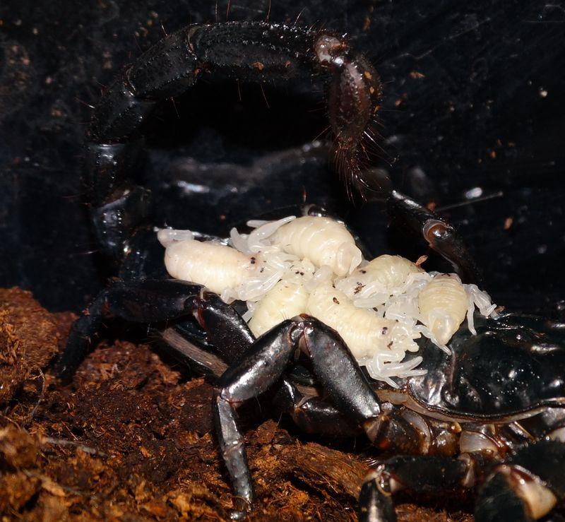 Scorpion babies close up DR CWP