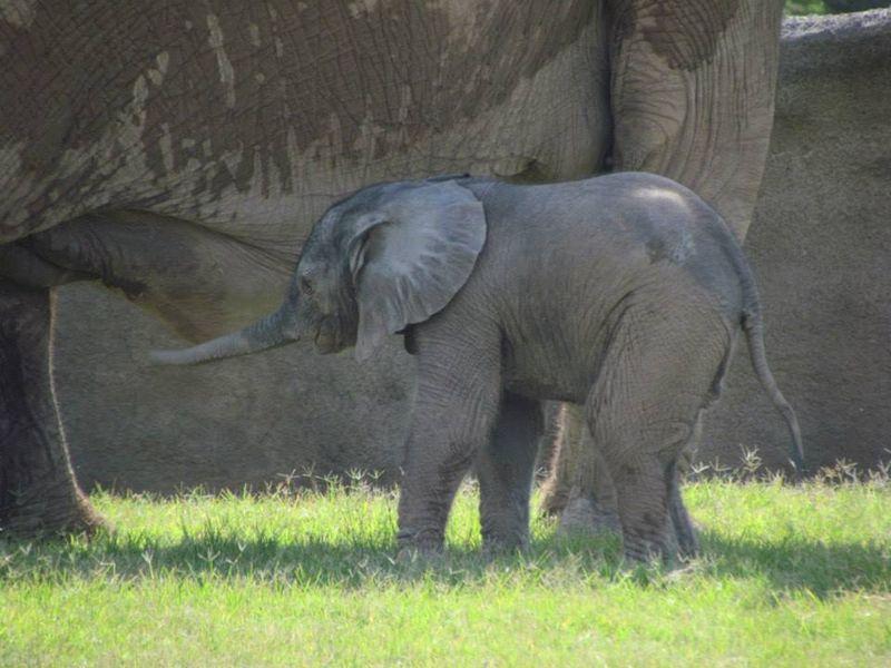 Semba's calf_RPZ_14