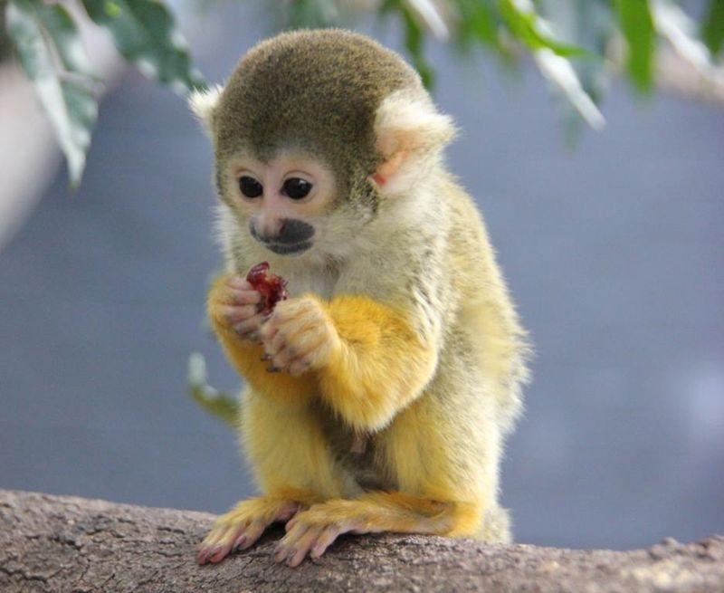 meet enrique amp carlos the squirrel monkeys zooborns