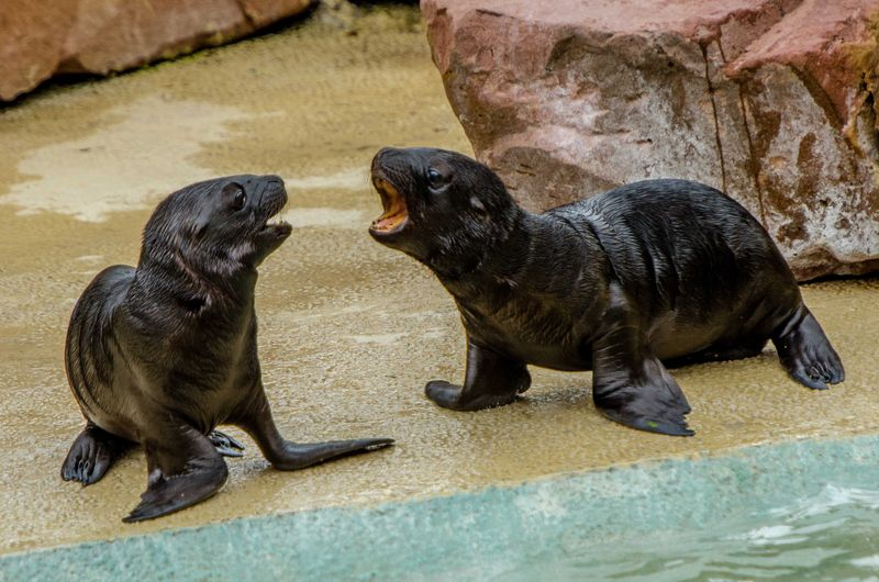 Sea Lion pups_ZooHeidelberg_1