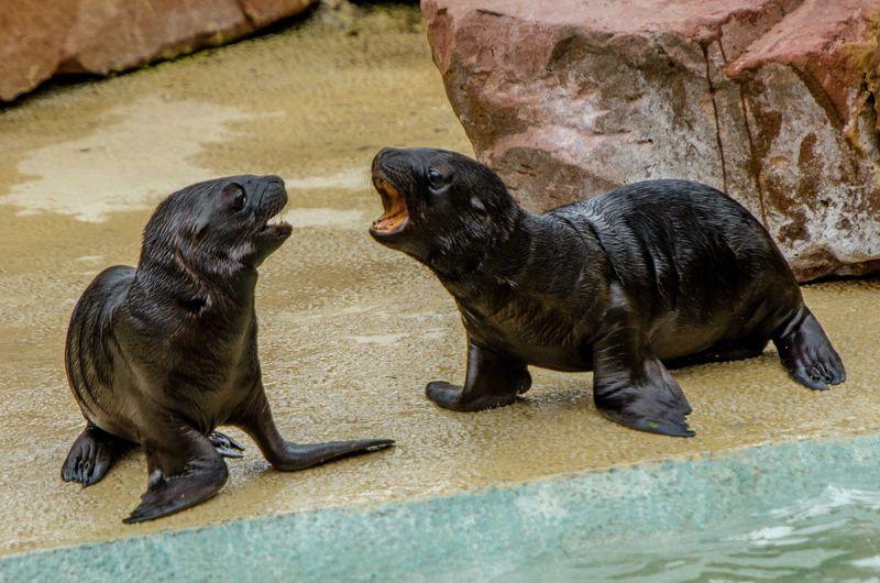Sea Lion pups_ZooHeidelberg_1