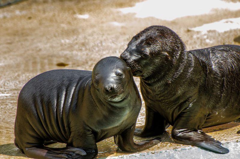 Sea Lion pups_ZooHeidelberg_2