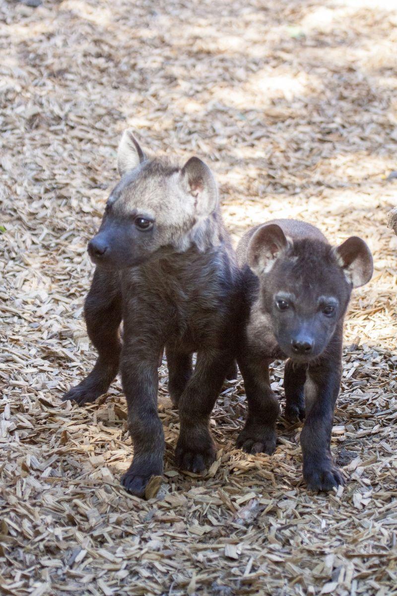Hyena_cubs_04