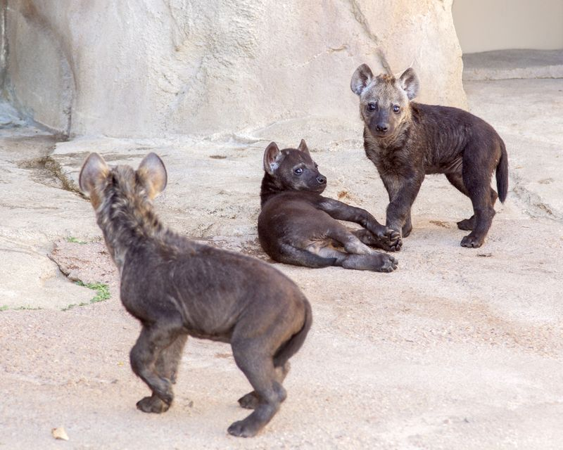 Hyena_cubs_03