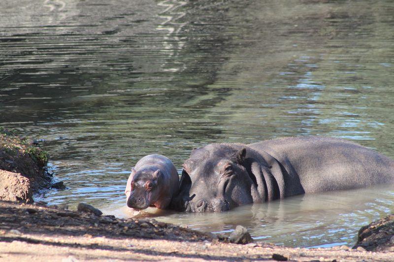 Hippo calf by Anthony Dorian (7)