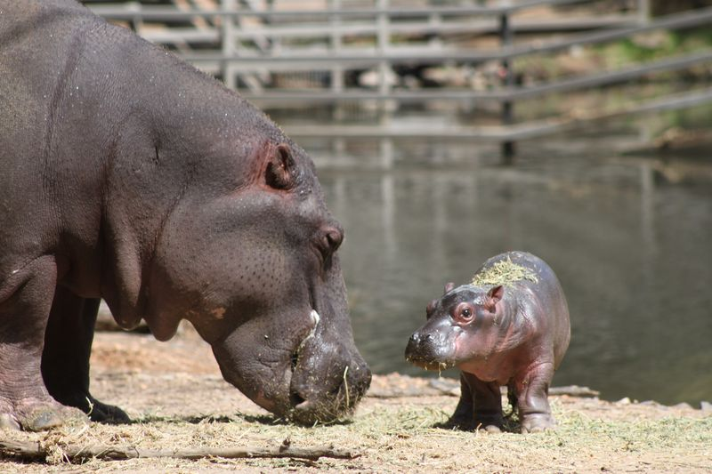 Hippo calf by Anthony Dorian (12)