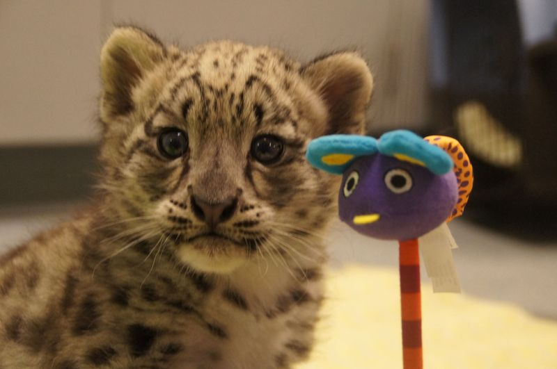 Snow leopard_Milwaukee_1
