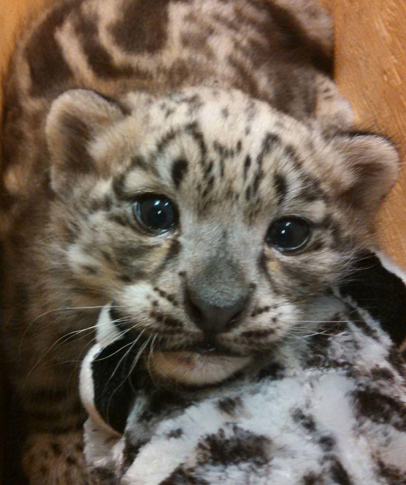 Snow leopard_Milwaukee_4