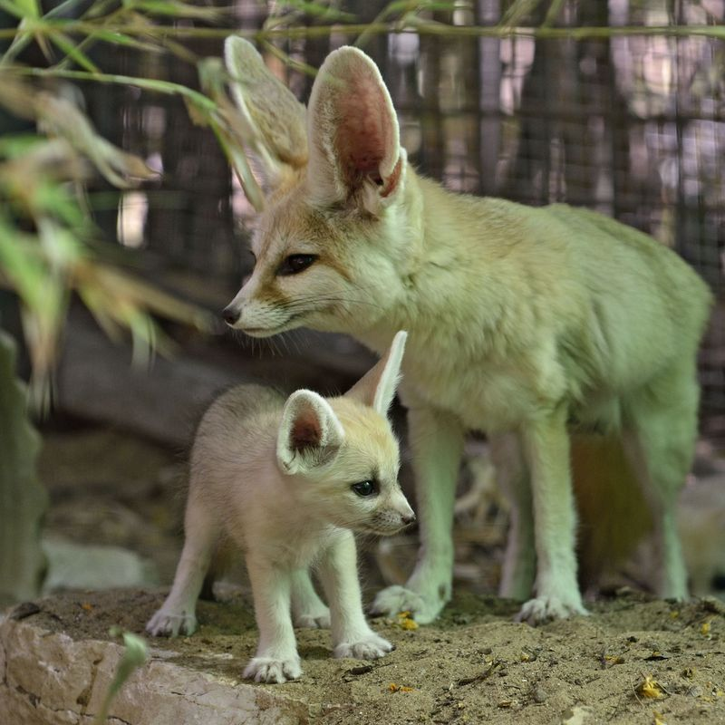 Fennec fox_tel aviv_2