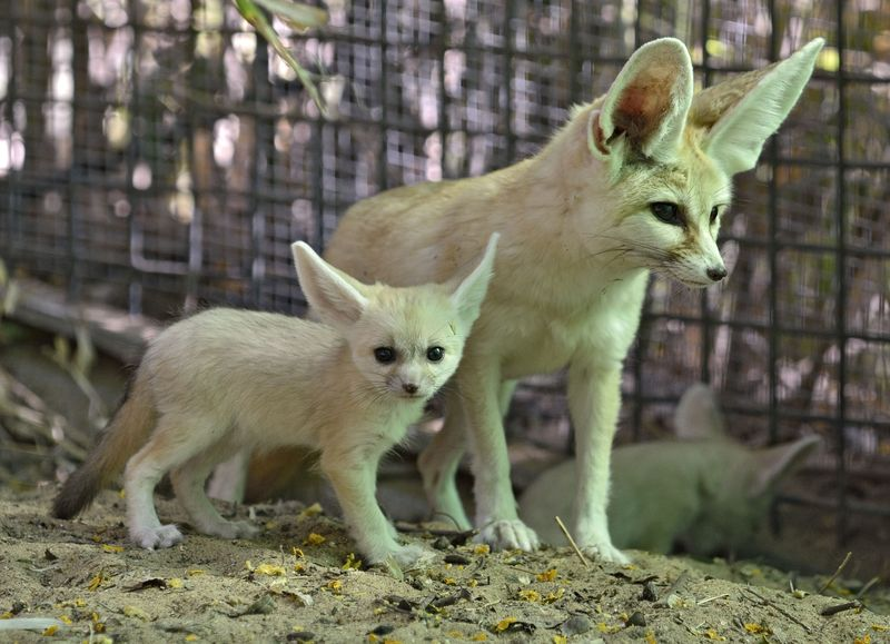 Fennec fox_tel aviv_1