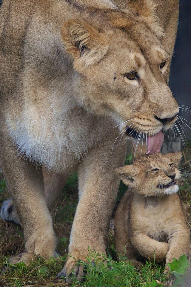 Asian lion cub_Dublin_3