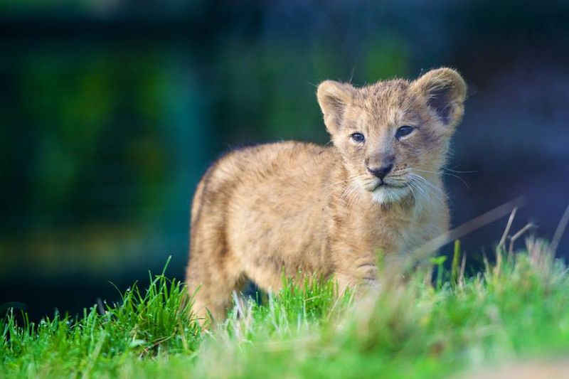 Asian lion cub_Dublin_2