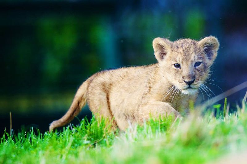 Asian lion cub_Dublin_1