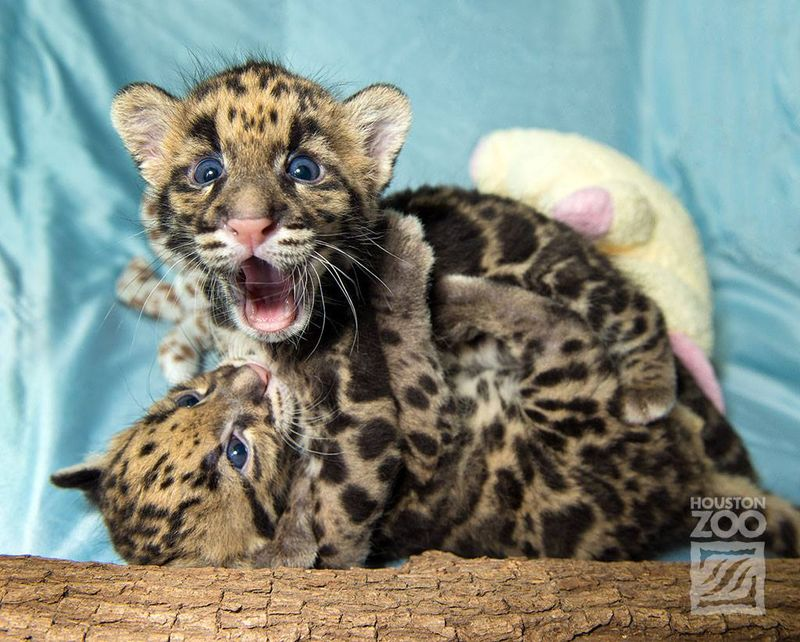 Clouded leopard_1