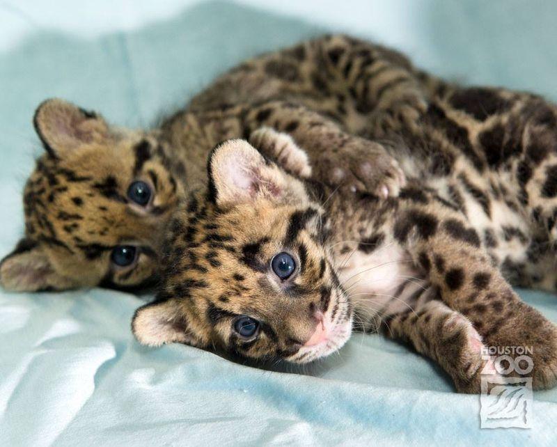 Clouded leopard_2