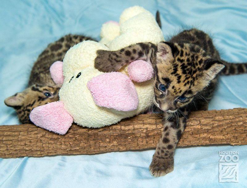 Clouded leopard_5