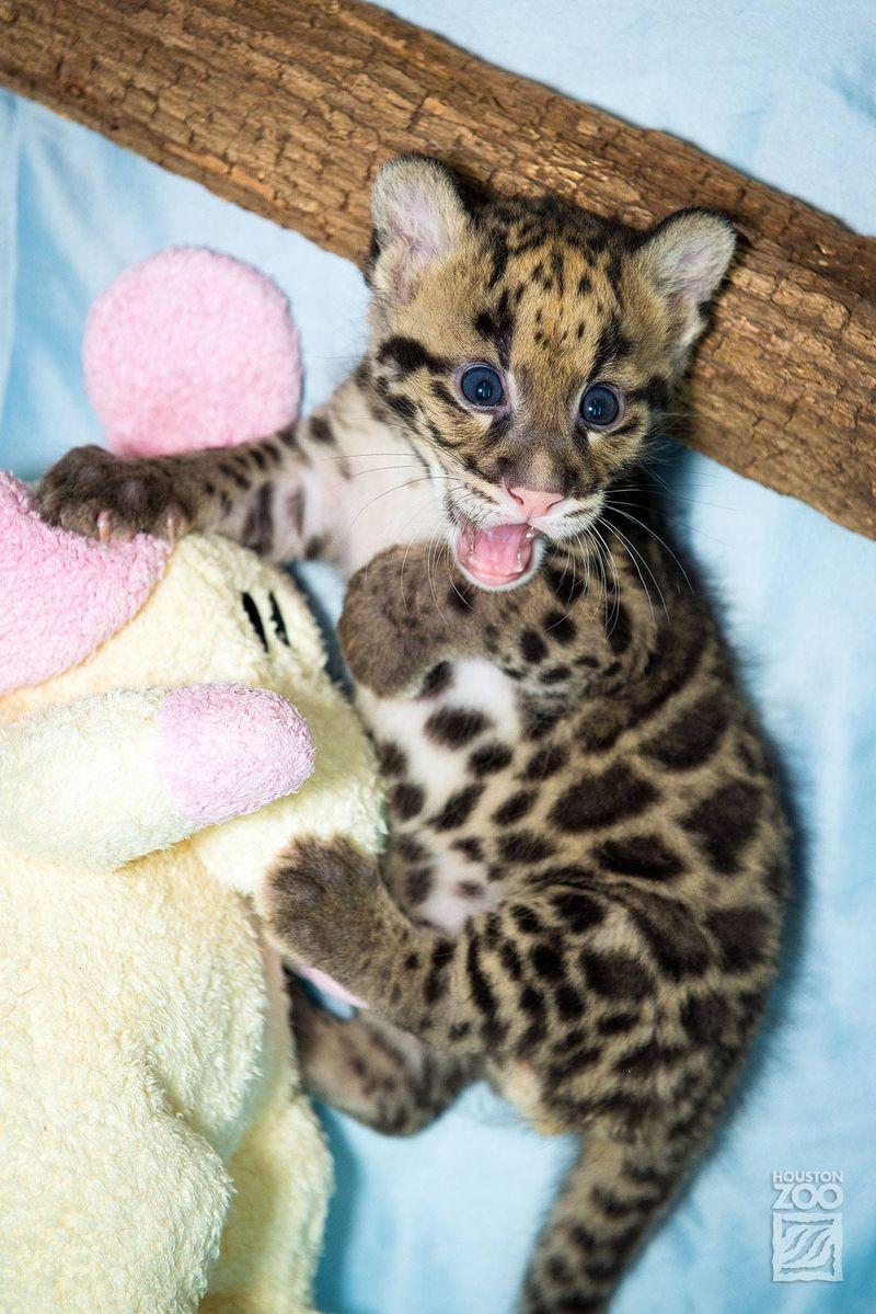 Clouded leopard_3