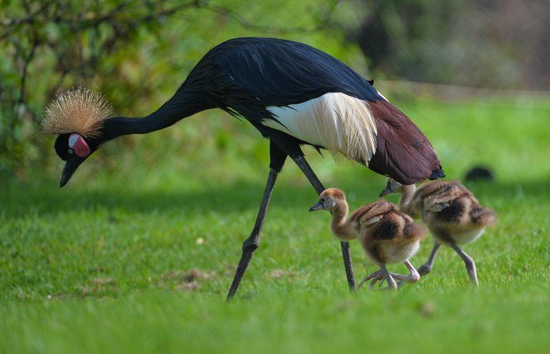 African cranes_4