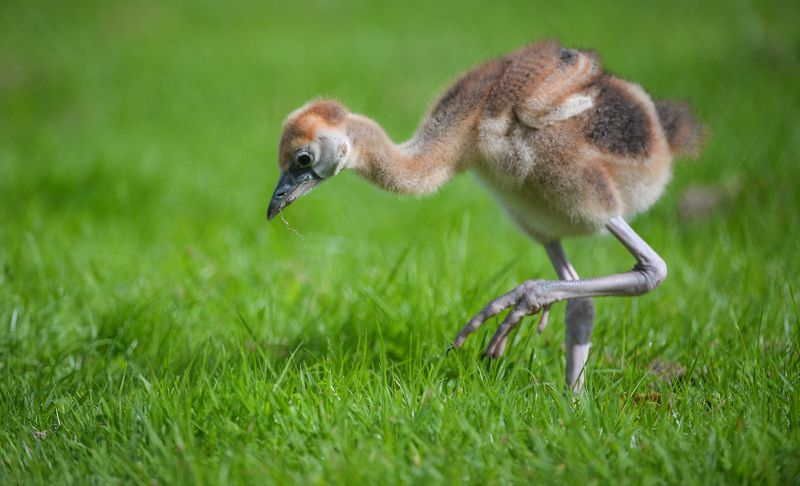 African cranes_3