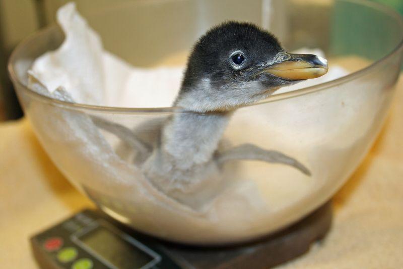Baby Gentoo 1 Weigh In