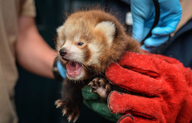 Red panda cubs_Chester Zoo_3