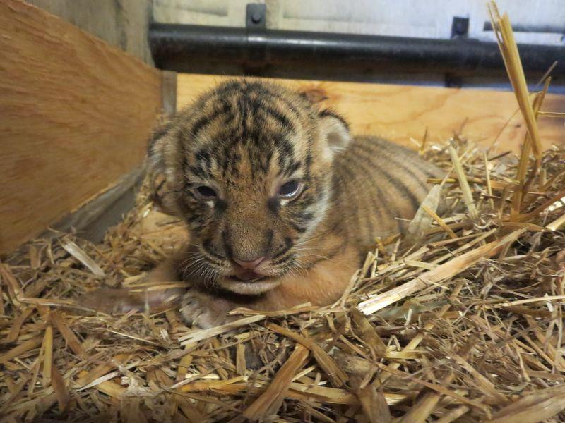 Malayan tiger cub_Tulsa_2