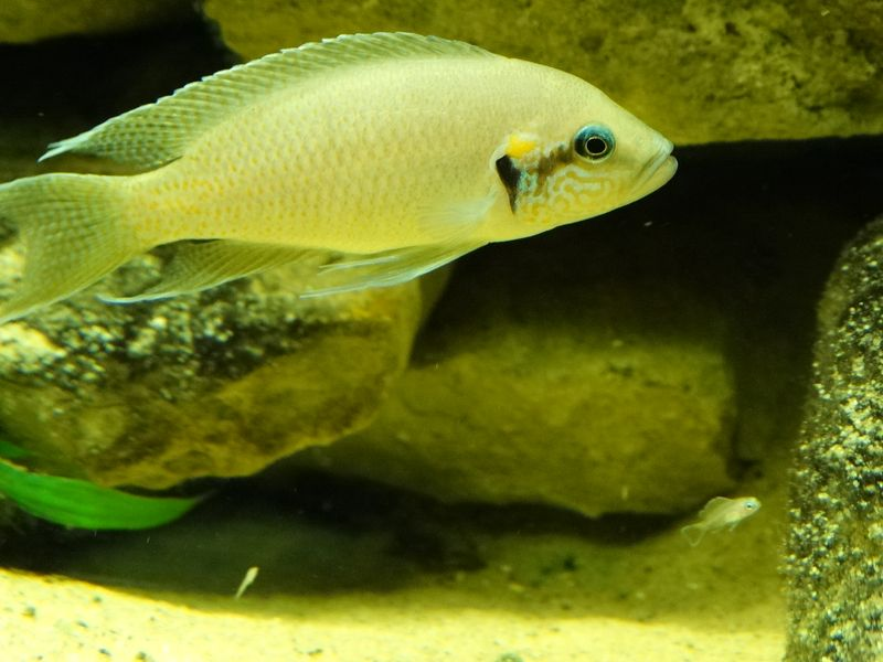 Lyretail Cichlid and fry 3 DR CWP