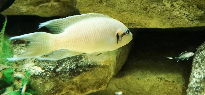 Lyretail Cichlid with fry DR CWP