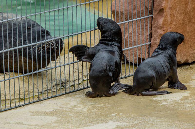 Sea Lion pups_ZooHeidelberg_4