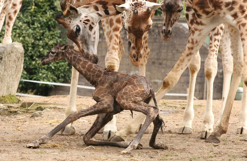 (3)  Giraffe give birth standing up and the calf falls more than five feet to the ground!  The calf stands within 30 minutes!  IMAGE BY ZOO VISITOR, JOHNNY MEGARRY.