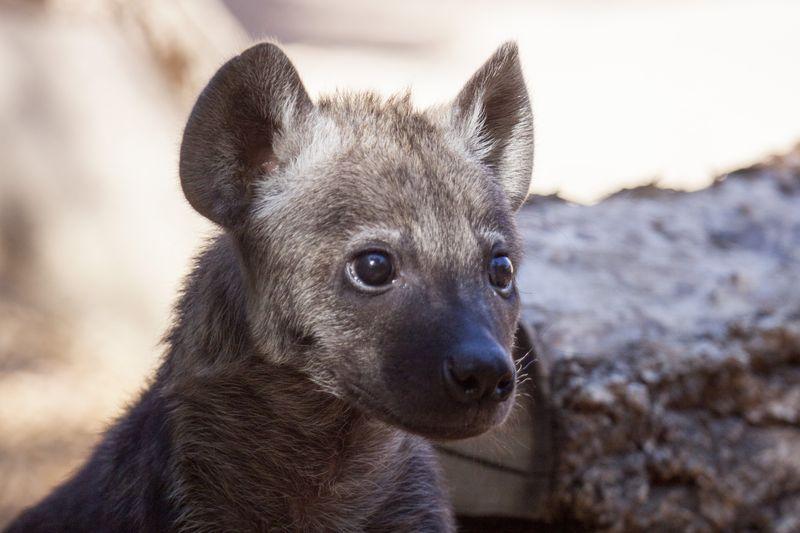 Hyena_cubs_02