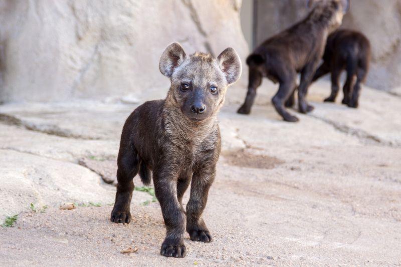 Hyena_cubs_01