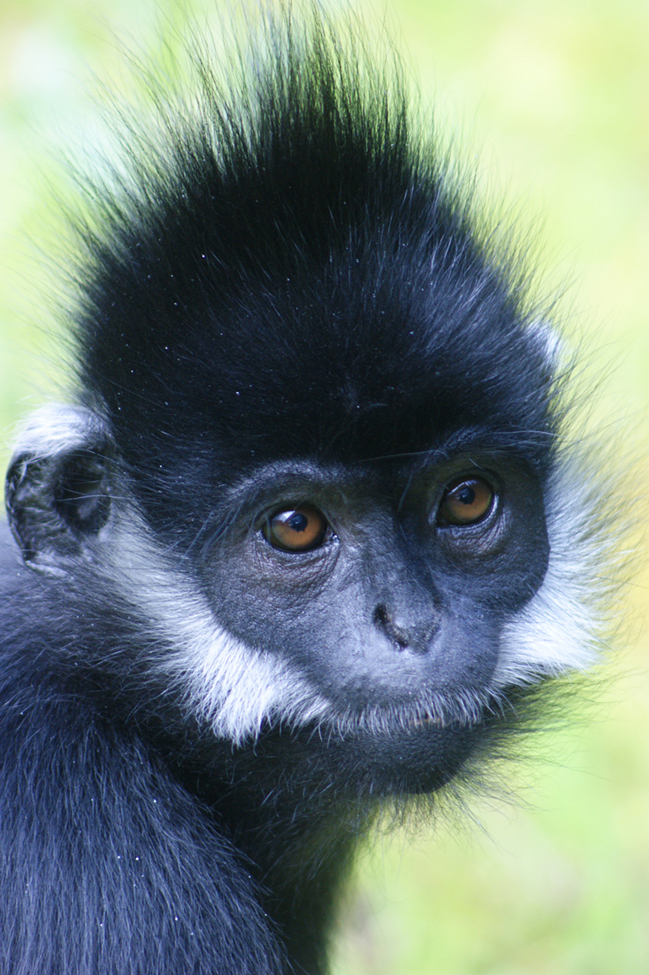 (7)  In 2003, there were estimated to be less than 500 langurs in Vietnam and only approximately 1400 in China.  Adult langurs are black but babies are orange!