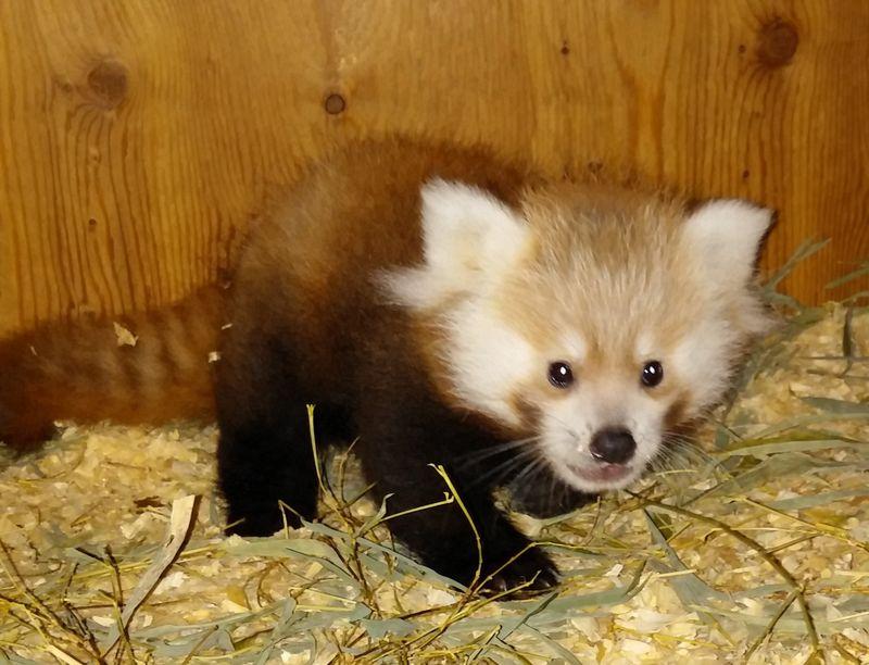 Red panda cub 2 (2)