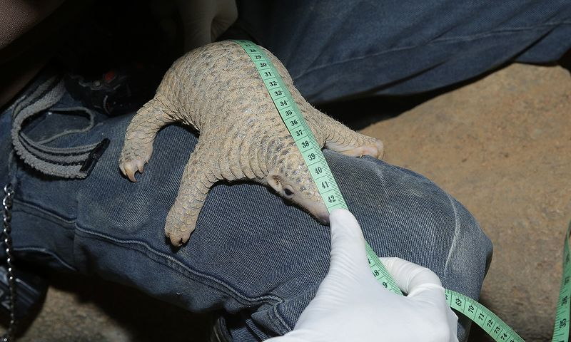 Radin the Sunda pangolin being measured by his keeper
